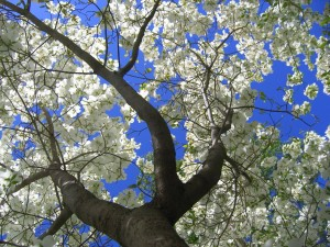dogwood_flowers_wallpaper_spring_nature_wallpaper_1600_1200_1238